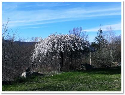 NYの庭の枝垂れ桜