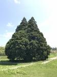 トトロの木2
