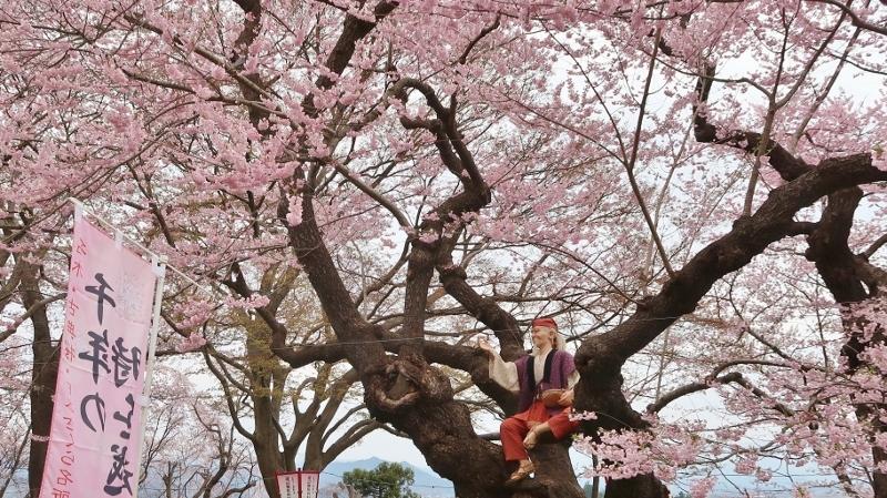 烏帽子山06おとぎ桜エドヒガン (800x449)