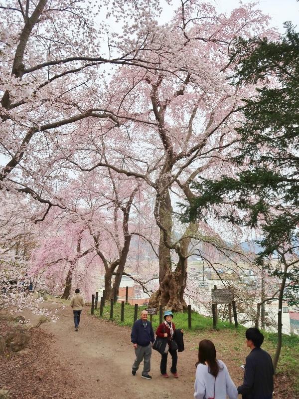 烏帽子山08二代目放鳥目白桜120年 (600x800)