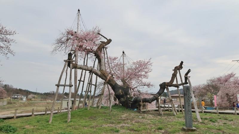 伊佐沢の久保ザクラ02 (800x449)