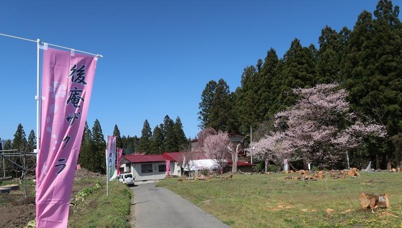 後庵桜 (800x454)