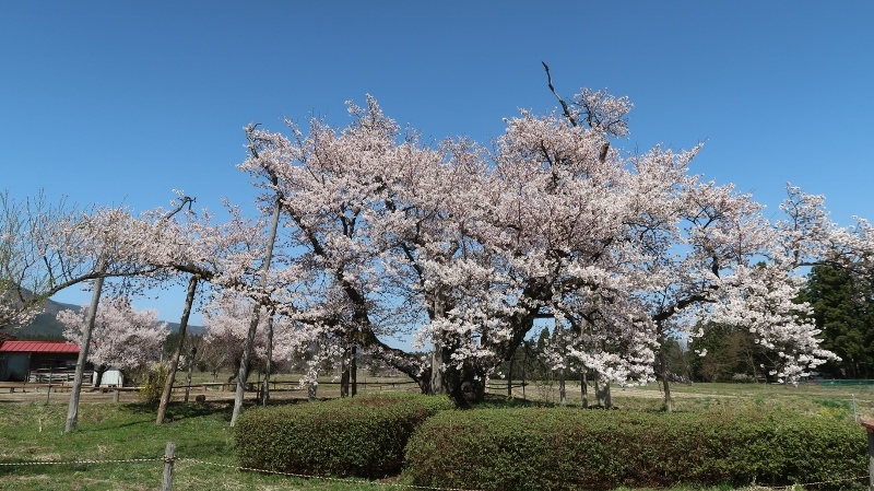 山口奨学桜 (800x449)