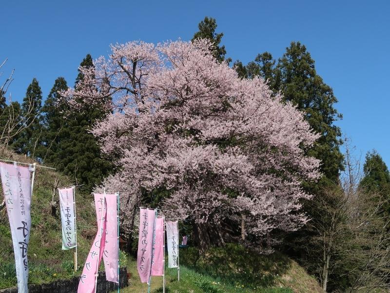 子守堂の桜01 (800x600)