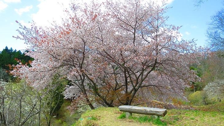 IMG_6767桜