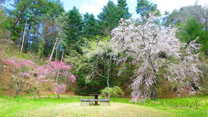 IMG_6774桜