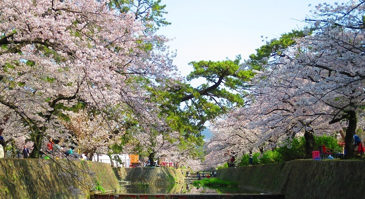 IMG_6731昭和の桜