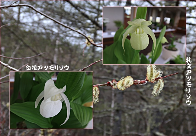 白花アツモリソウ