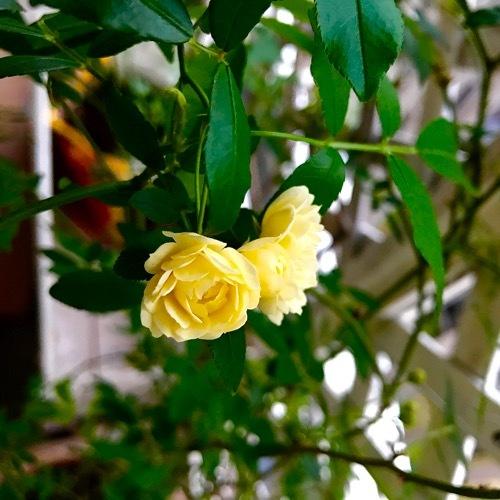 木香薔薇が咲きました。