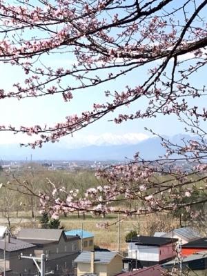 サクラと日高山脈。