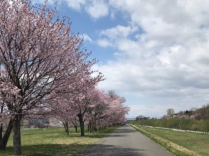 帯広川の桜並木