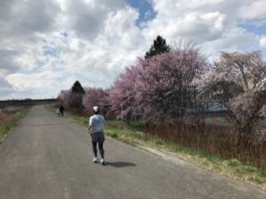 妻との桜を探すラン