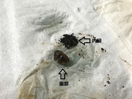 スジアカハシリグモの乾燥標本の作り方6