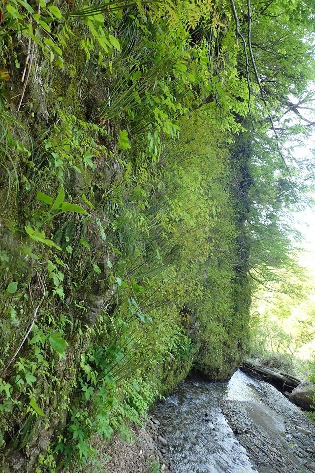岩の沢川ゼンマイ