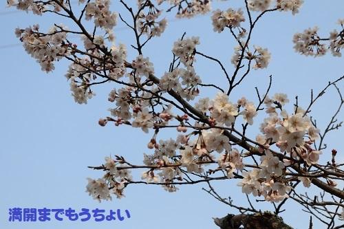 12桜もうちょい