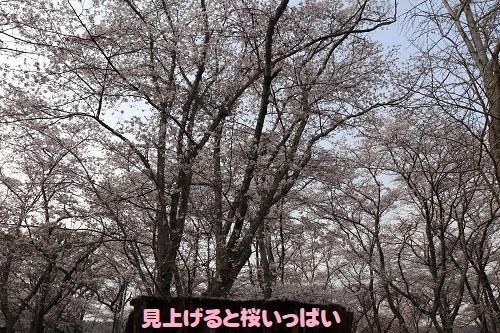 15見上げた桜