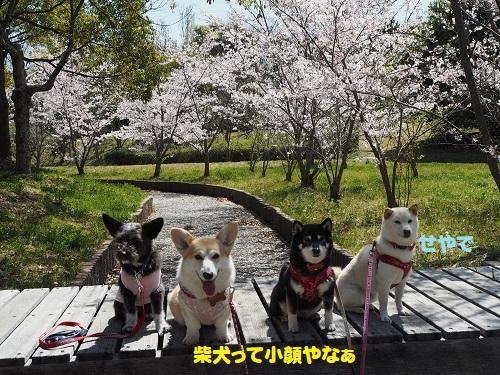 10柴犬て、、