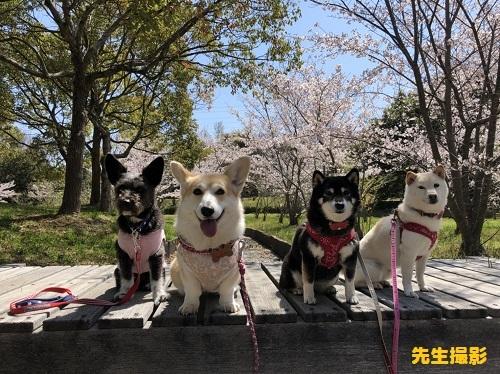 11柴犬と2