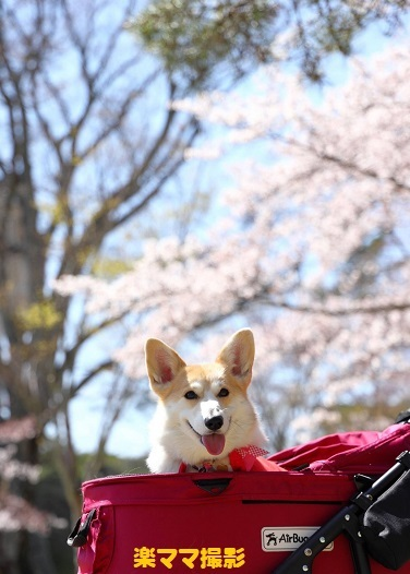 40桜バック2