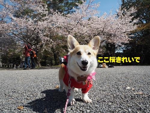 53桜きれぇ