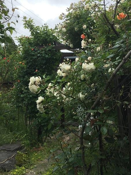 002_庭のバラ