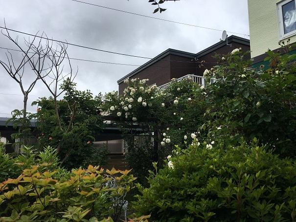 001_庭のバラ