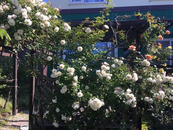 002_庭のバラ20190619