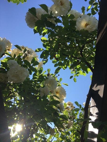 008_庭のバラ20190619