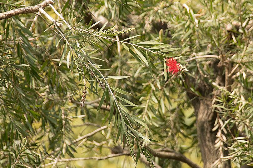 ブラシの木の花(旧古川庭園)0H7A2233