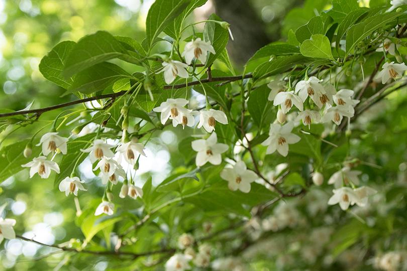 エゴノキの花0H7A3174