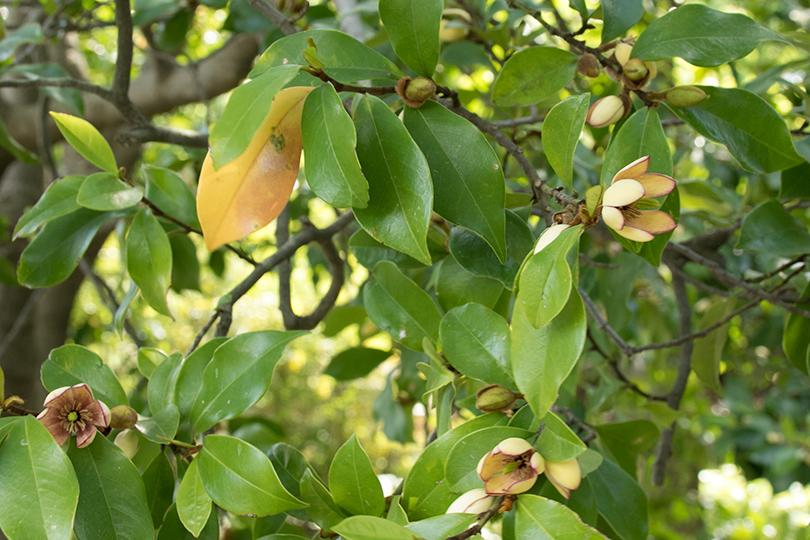 カラタネオガタマバナナの香り0H7A3632