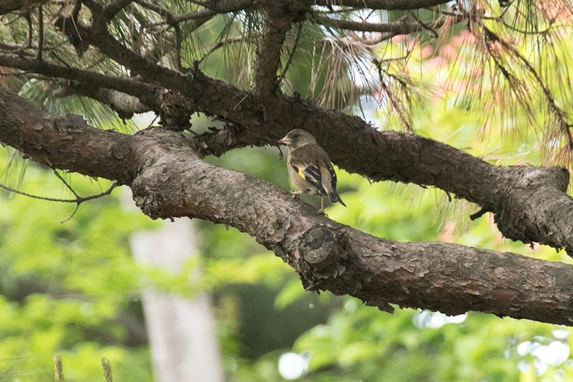 松の木にカワラヒワ0H7A3575