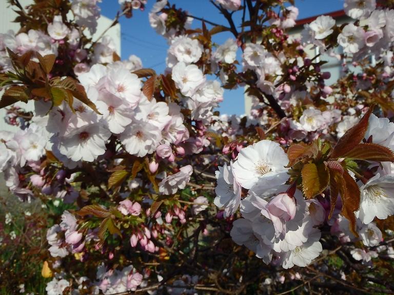 八重桜満開!0001