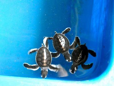 ウミガメ保護