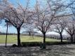 中央公園の桜