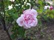 バラが開花