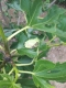 イチジクの葉のアマガエル