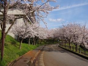 やすらぎ桜