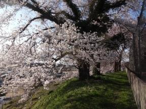 昭和天皇即位記念桜