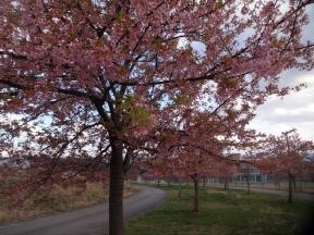 太陽が丘の河津桜
