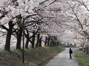 金大キャンパス学び桜