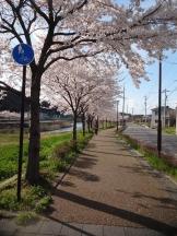 田上本町の桜も成長しました。