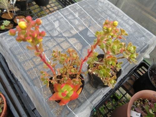 アエオニウム・仙童唱(Aeonium spathulatum)(Chocolate tip)花芽2019.04.30