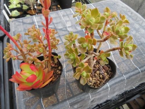 アエオニウム・仙童唱(Aeonium spathulatum)(Chocolate tip)2019.04.30