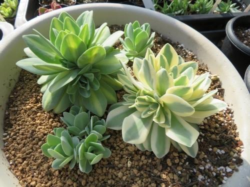 オロスタキス・大型岩レンゲ、鳳凰・富士、寄せ植え♪勝手に脇芽分岐して、成長しています♪2019.04.22