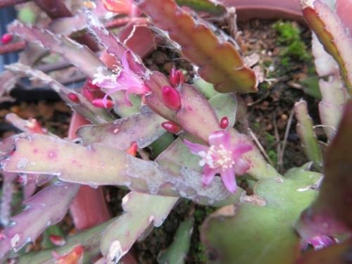 レピスミウム・クルシフォルメ(Lepismium cruciforme)(淡ピンク花)花芽たくさん開花初め♪2019.05.20