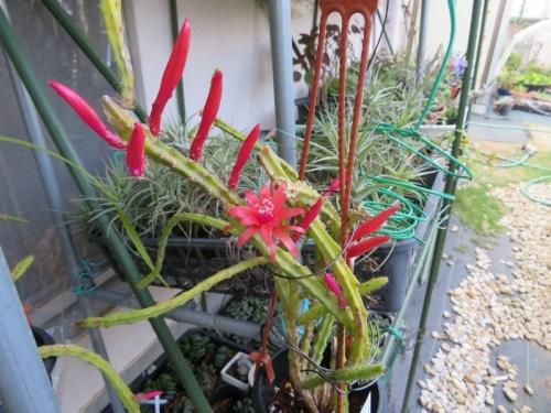 アポロカクタス・メラニー(赤花)、花芽たくさん♪2019.05.20