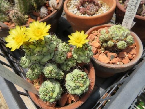 オルテゴカクタス・マクドガリー(Ortegocactus macdougallii)メキシコ原産(オアハカ州南部)高山性、開花中♪2019.05.22