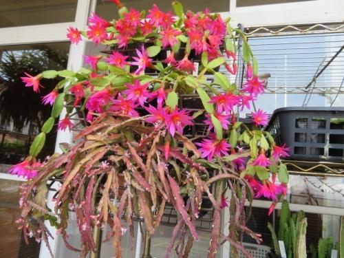 イースターカクタス・2色咲珍しい花色(中黄色、外ピンク)しだれ満開花♪2019.05.27
