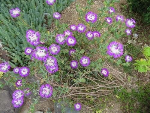ケンシチア・千歳菊 (Kensitia pillansii) (Erepsia pillansii) 2019.06.05